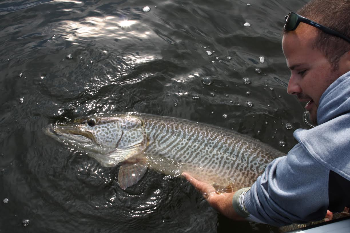 45 inch Tiger Musky being released to get bigger!